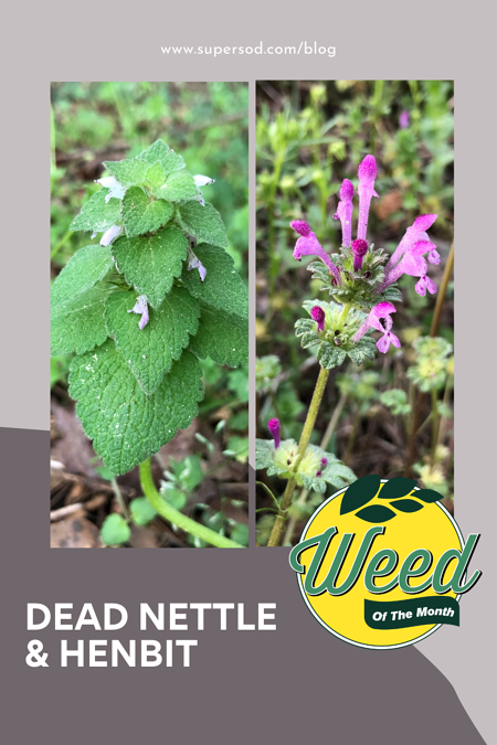Dead Nettle and Henbit