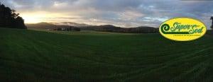 Misty, verdant, morning. Elite Tall Fescue sod field, September 29th, 2014.