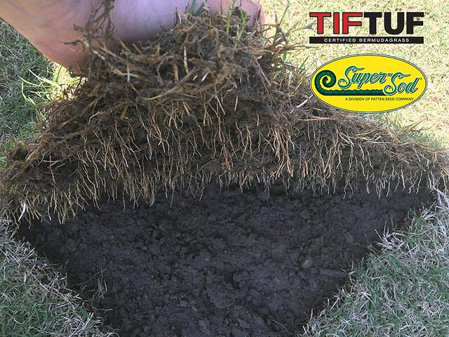 TifTuf Bermuda Roots - featured image