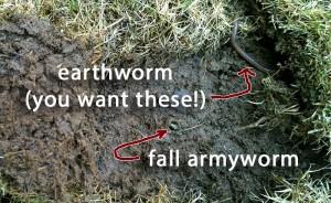 fall-armyworm-lawn