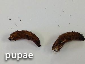 fall-armyworm-pupae