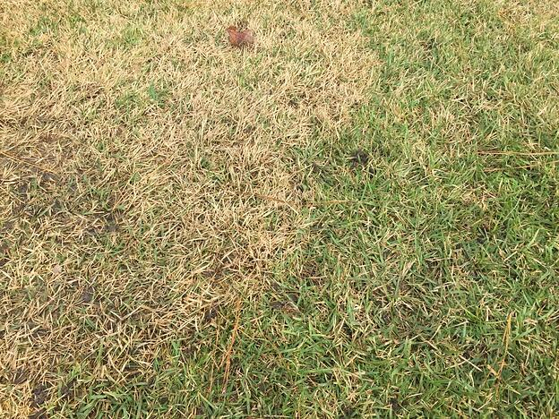 Picture of large patch disease in a lawn