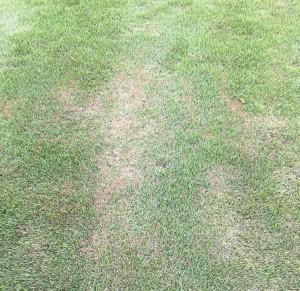 Picture of Spring Dead Spot Fungus in a Warm Season Lawn