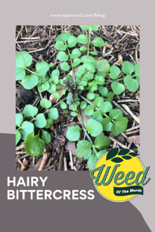 Marchs weed of the month hairy bittercress