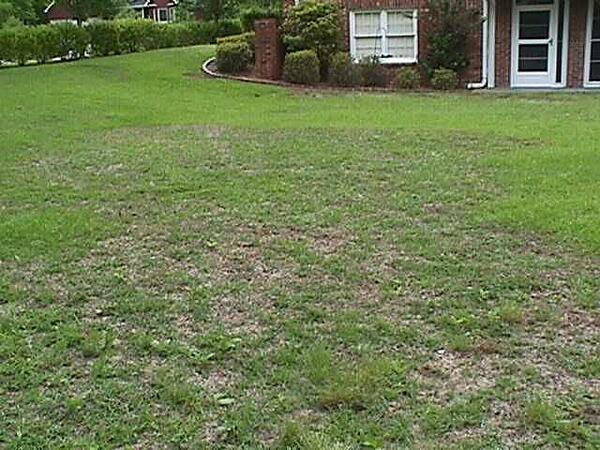 St Augustine Lawn with Brown Patch