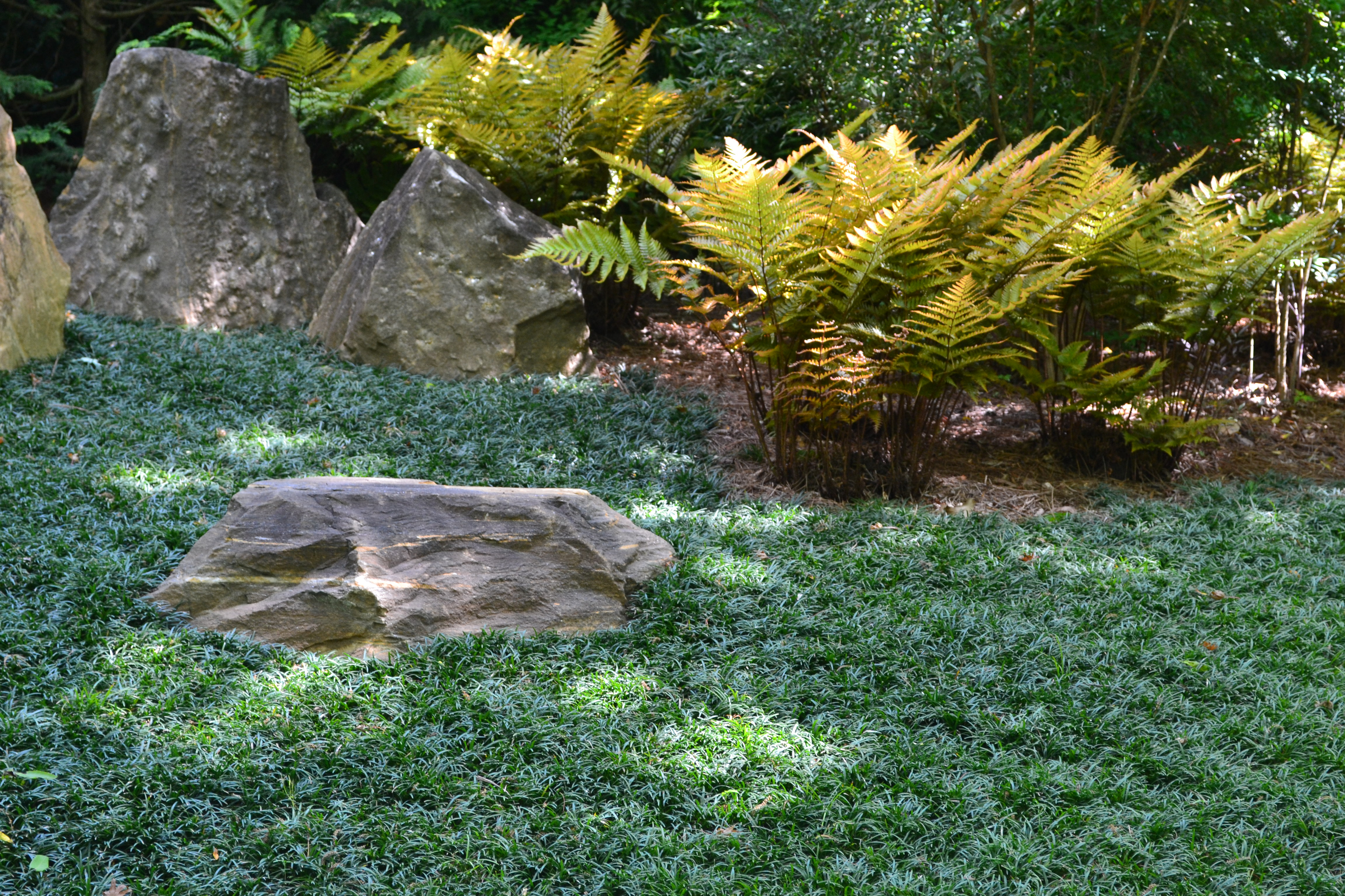 Dwarf Mondo and Ferns - Hillary Thompson pic