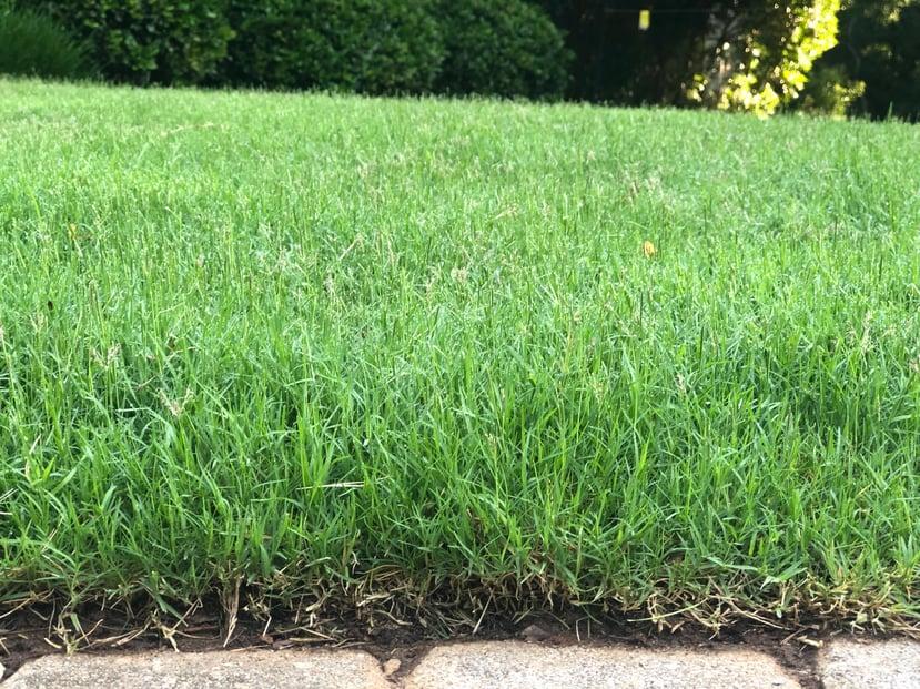 6-7 inch tall bermudagrass