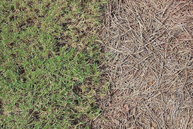 Sod vs. Pine Straw - Weighing Your Options - featured image