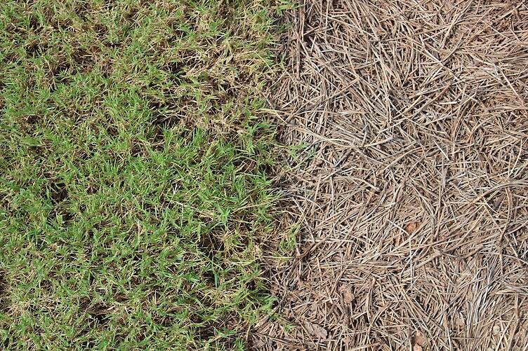 Sod vs. Pine Straw - Weighing Your Options