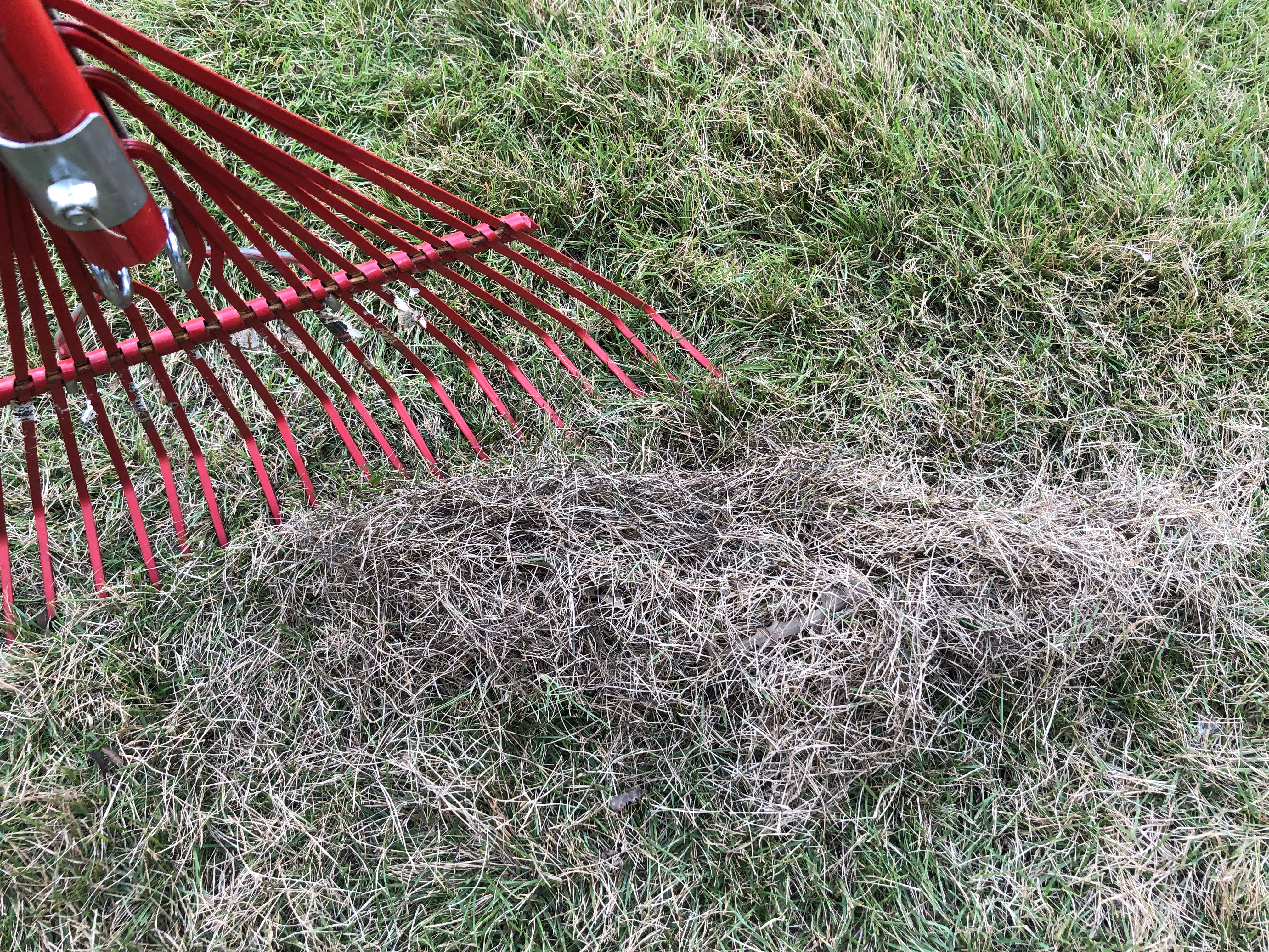 dethatching with a leaf rake
