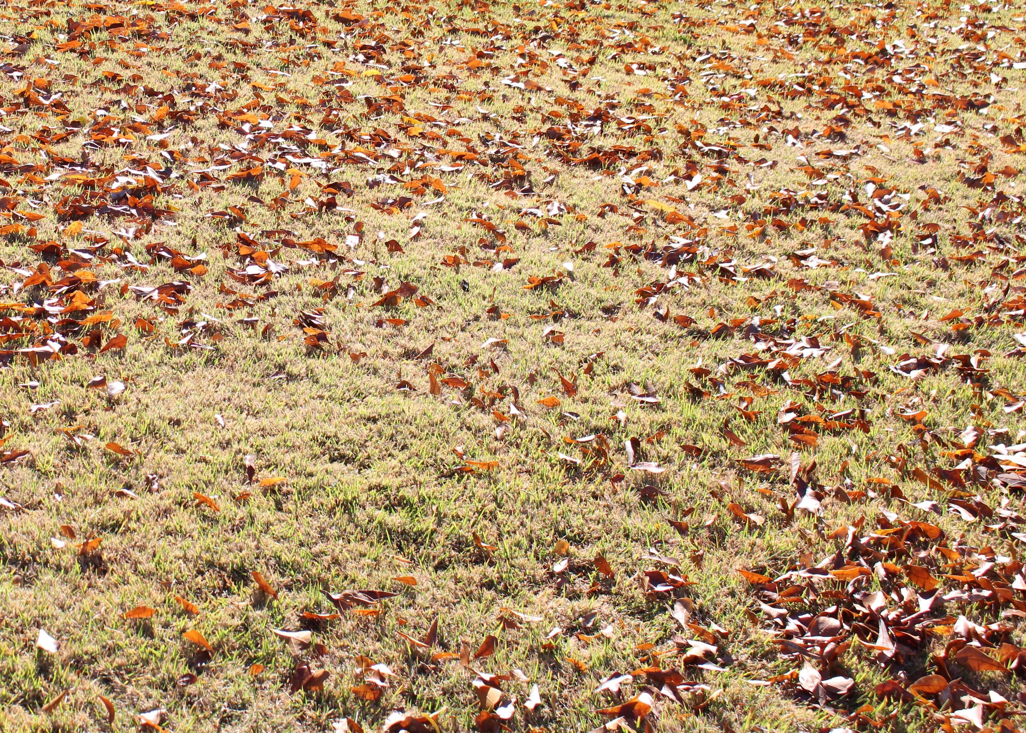 leaves_on_the_lawn_2.jpg