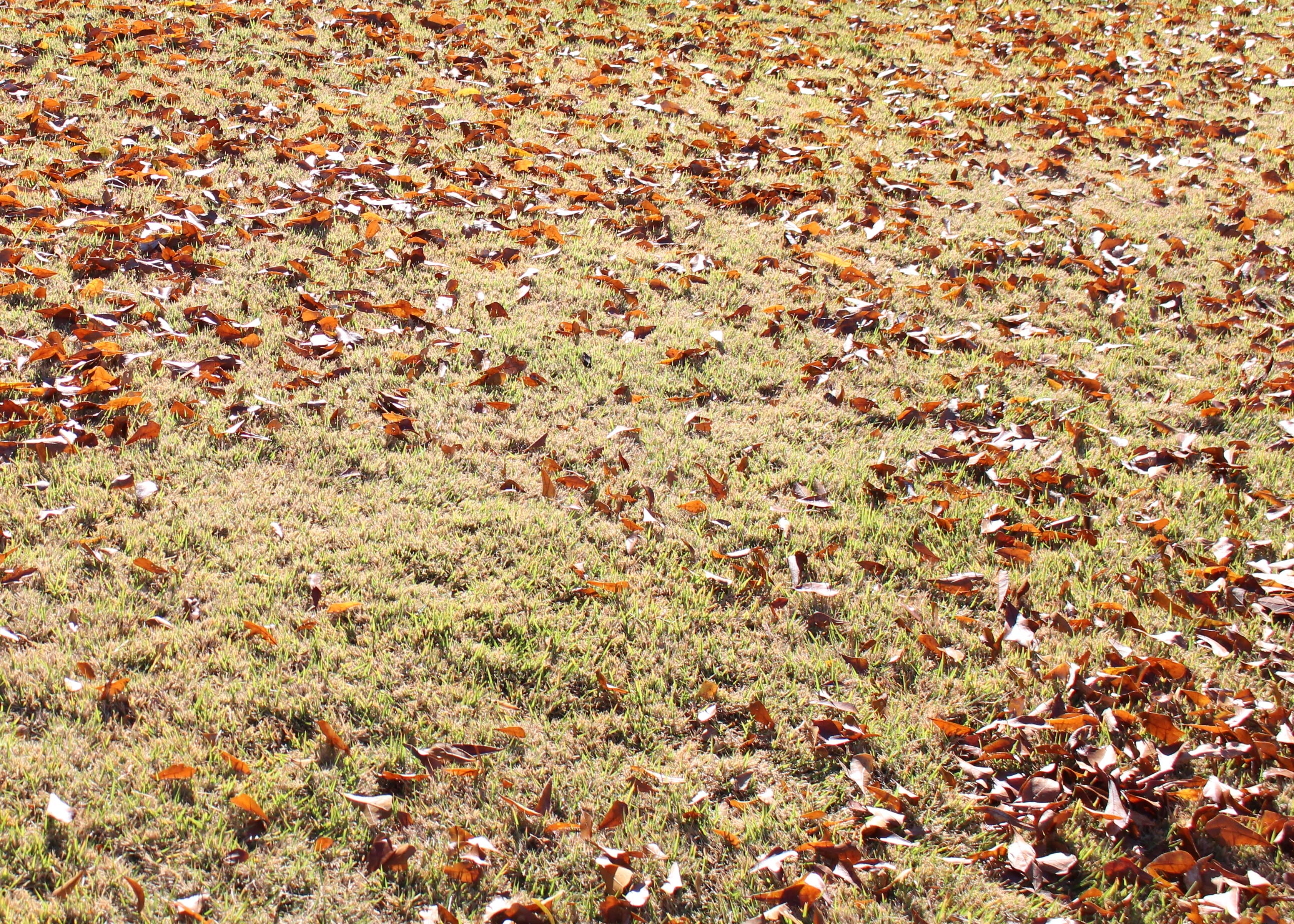 remove fall leaves to prevent smothering your lawn