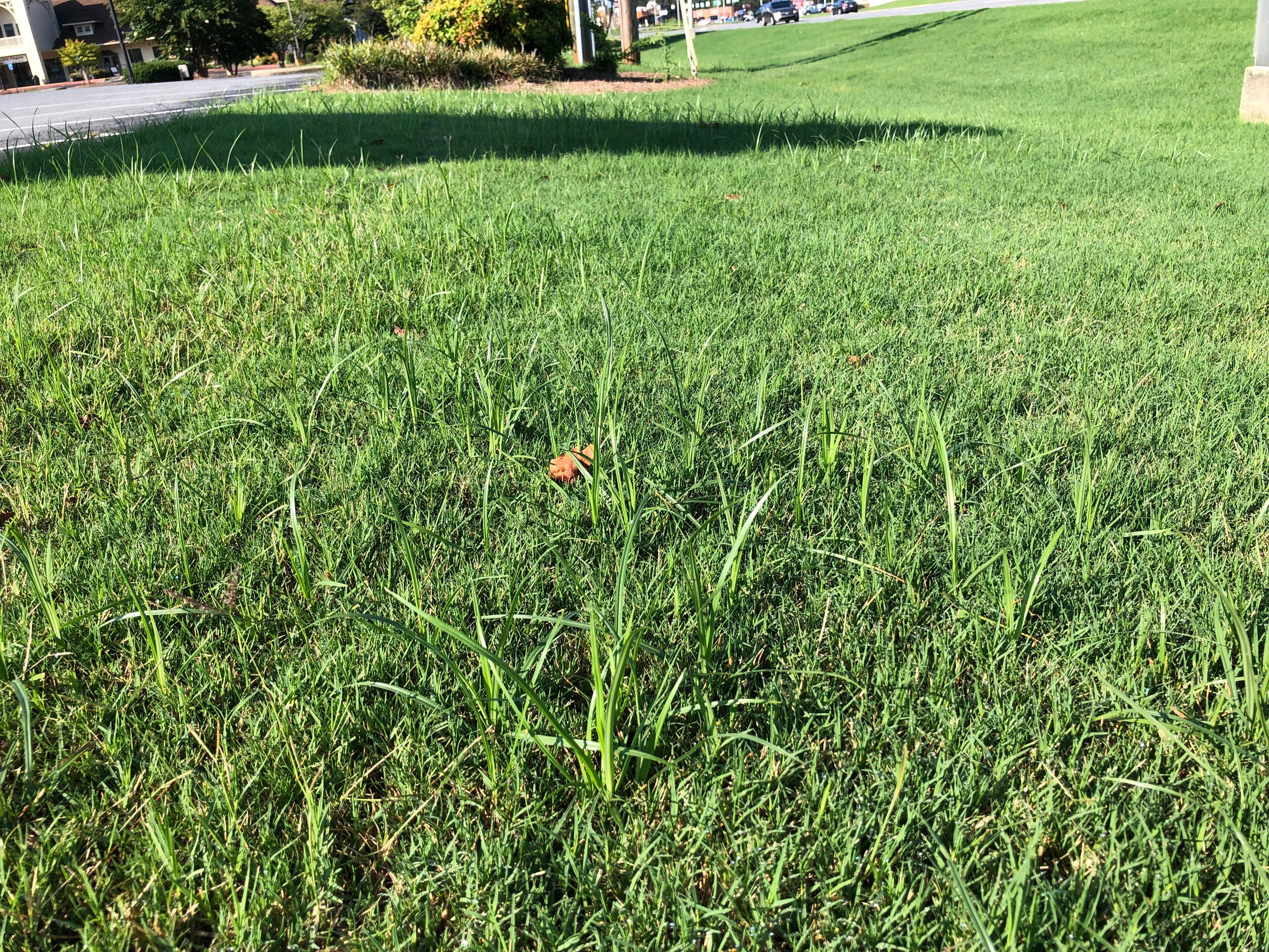 Cyperus nutsedge identification pictures-2