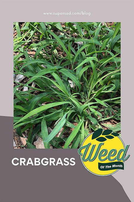 July weed of the month crabgrass-1