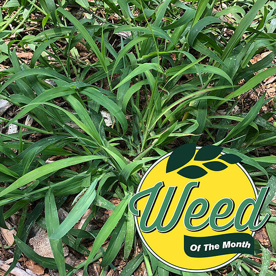 July weed of the month crabgrass-2