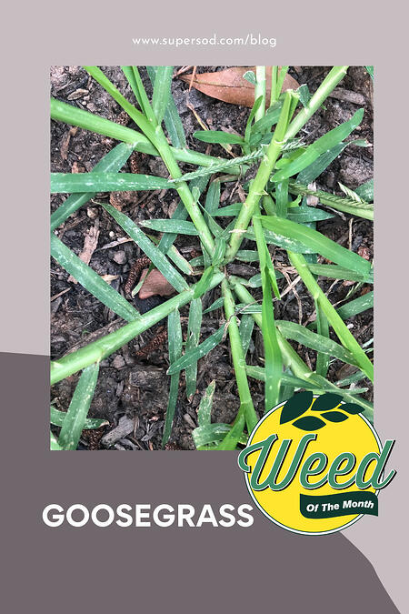Weed-of-the-Month-Goosegrass_PIN