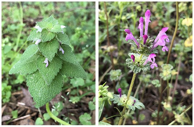 Dead Nettle & Henbit - April's Weeds of the Month
