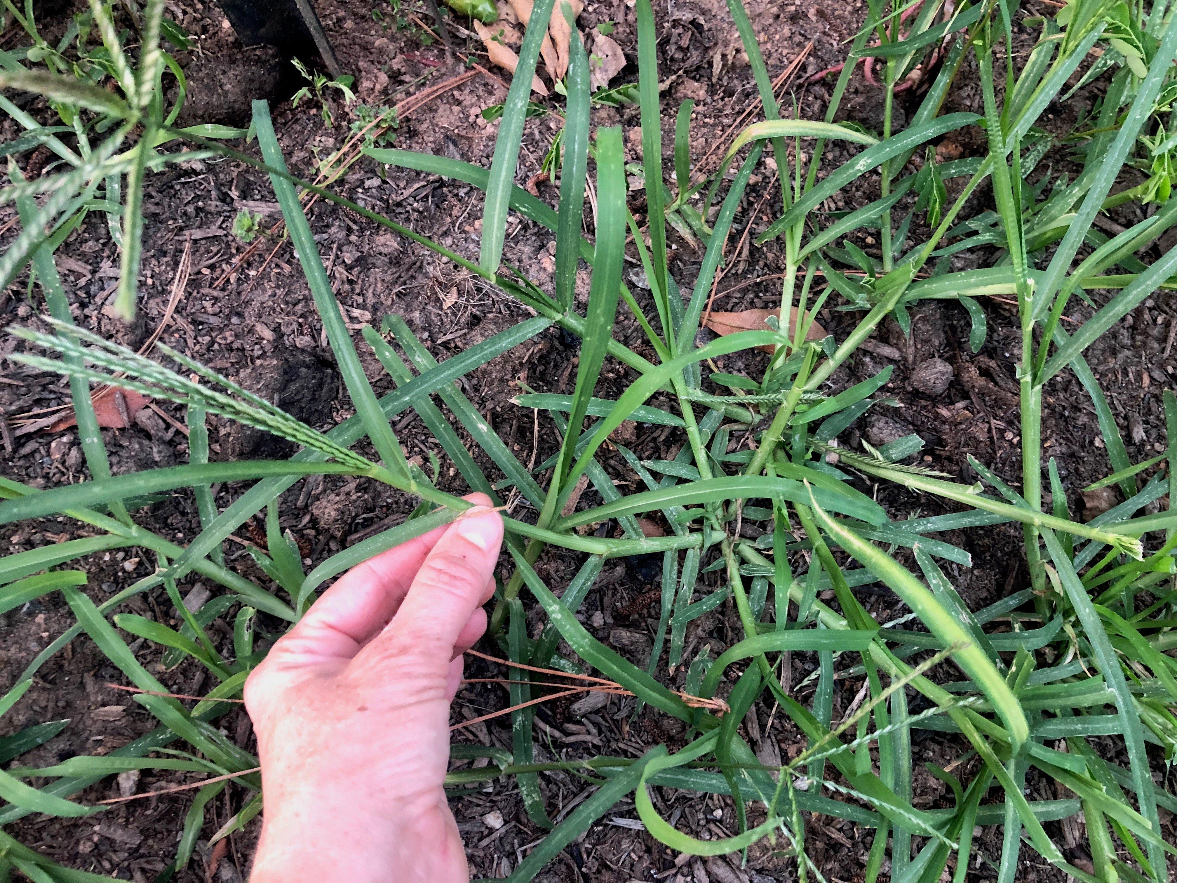goosegrass stem