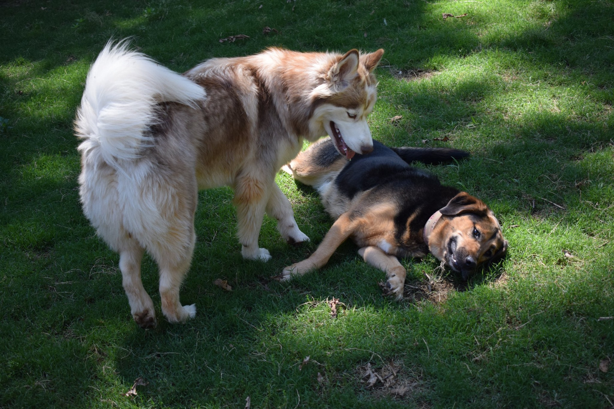 how to grow a lawn if you have dogs and shade - big dogs on a shady lawn
