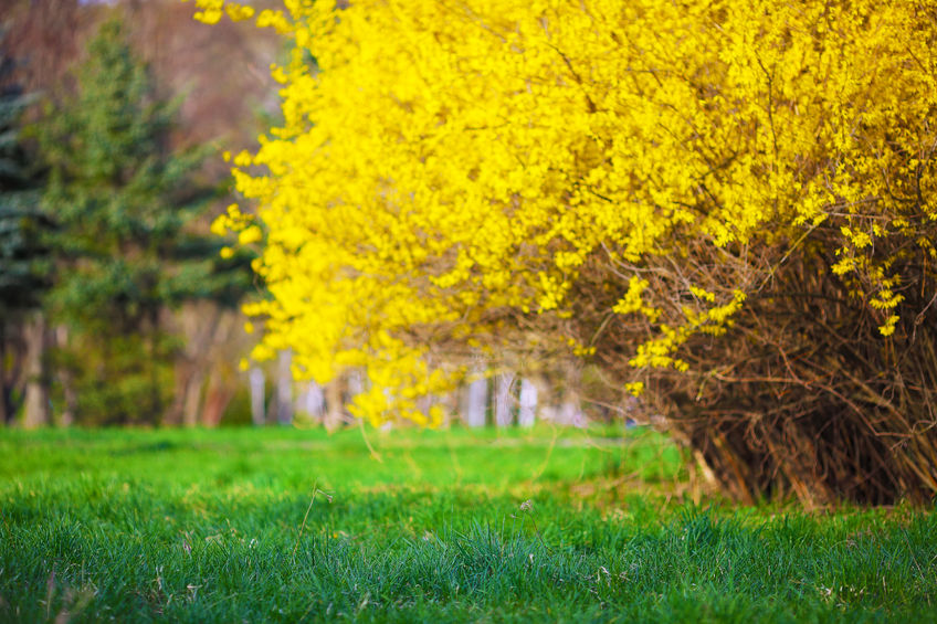 forsythia flowers as a signal for applying pre-emergents