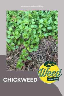 weed of the month chickweed stellaria media