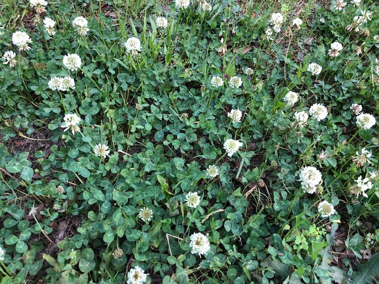 White Clover - June Weed of the Month
